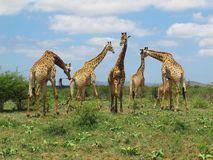 Giraffes at Hluhluwe–Imfolozi Park, South Africa. Group of Giraffes at Hluhluwe–Imfolozi Park formerly Hluhluwe–Umfolozi Game Reserve in KwaZulu-Natal Stock Photography