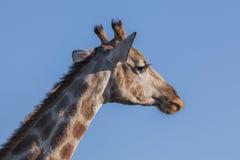 Giraffe's huvud Fotografering för Bildbyråer