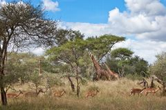 Giraffes and Impala Stock Photography