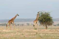 Giraffes In The Savanna Stock Photography
