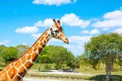 Free Giraffes In The Zoo Safari Park. Beautiful Wildlife Animals Stock Photos - 91494693