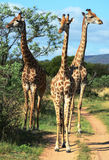 Giraffes inspect tourists in a game reserve. Three giraffes take a look at a a group of tourist in a game reserve in the Limpopo area of South Africa Royalty Free Stock Photos