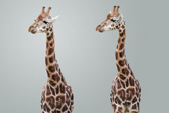 Giraffes isolados Foto de Stock Royalty Free