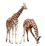Giraffes isolated Royalty Free Stock Photography