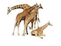 Giraffes Isolated. Group of giraffes isolated on white background Stock Image