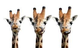 Giraffes. Isolated on white background Stock Image
