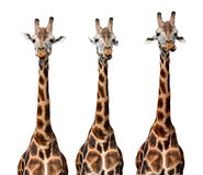Giraffes. Isolated on white background Stock Images