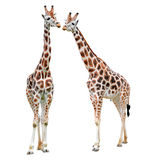 Giraffes. Isolated on white background Stock Photography