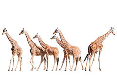 Giraffes Isolated on White Royalty Free Stock Images