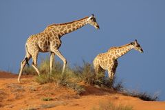 Giraffes, Kalahari desert, South Africa. Giraffes (Giraffa camelopardalis) walking on a sand dune, Kalahari desert, South Africa Royalty Free Stock Image