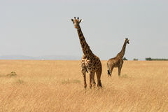 Giraffes in Kenya Stock Images