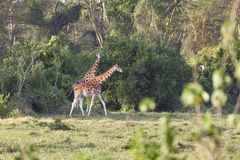 Giraffes in Kenya Royalty Free Stock Photography