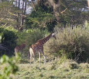 Giraffes in Kenya Stock Photography