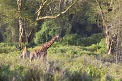 Giraffes in Kenya Royalty Free Stock Image