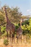 Giraffes in Kenya Tasvo national park in Kenya Tasvo national pa Stock Image