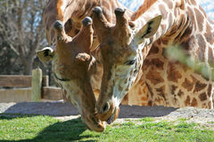 Giraffes Kissing. Two giraffes heads leaning forward, kissing Royalty Free Stock Image