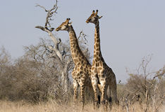 giraffes kruger πάρκο δύο Στοκ Εικόνες