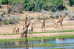 Giraffes in Kruger National Park, South Africa. Giraffes in Kruger National Park in South Africa Stock Photography