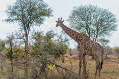 Giraffes in Kruger National Park, South Africa. Giraffes in Kruger National Park in South Africa Stock Image