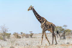 Giraffes in Kruger National Park, South Africa. Giraffes in Kruger National Park in South Africa Stock Photos