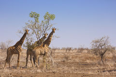 Giraffes in Kruger National Park, South Africa. Three giraffes in Kruger National Park in South Africa Stock Photo