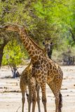 Giraffes, Kruger National Park Stock Photography