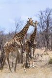 Giraffes in Kruger National park Stock Photo