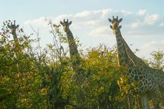 Giraffes in the Kruger Park South Africa. Looking in camera Royalty Free Stock Photos