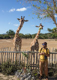 Giraffes in Kruger park South Africa. Giraffes and man in Kruger park South Africa Stock Photography