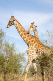 Giraffes Kruger Park, South Africa. Giraffes, Kruger park safari animals. South Africa Royalty Free Stock Image