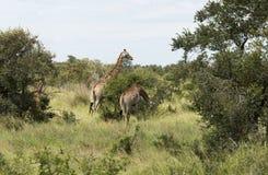 Giraffes in krugerpark. Wild giraffe  kruger national park south africa Stock Photo