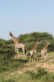 Giraffes in krugerpark Stock Images