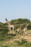 Giraffes in krugerpark. Wild giraffeS  kruger national park south africa Stock Images