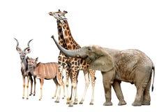 Free Giraffes, Kudu And Elephant Stock Photos - 39004993