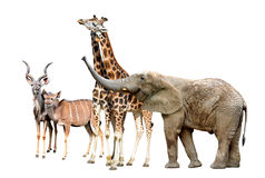 Giraffes, Kudu and Elephant. Isolated on white Stock Photos