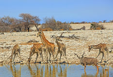Giraffes & Kudu next to a waterhole Royalty Free Stock Images