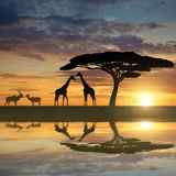Giraffes with Kudu. At sunset Royalty Free Stock Photo