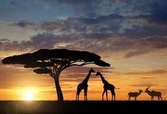Giraffes with Kudu. At sunset Royalty Free Stock Photos