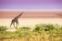 Giraffes in Lake Manyara national park, Tanzania Stock Images