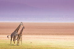 Giraffes in Lake Manyara national park, Tanzania Stock Photos