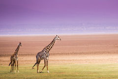 Giraffes in Lake Manyara national park, Tanzania Royalty Free Stock Photos