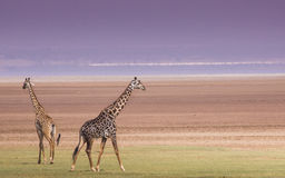 Giraffes in Lake Manyara national park, Tanzania Royalty Free Stock Photo