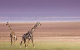 Giraffes in Lake Manyara national park, Tanzania royalty free stock photo