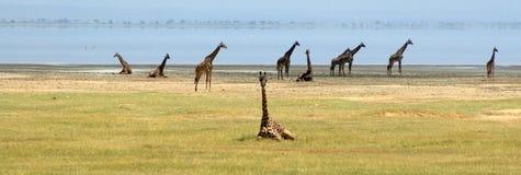 Giraffes at Lake Manyara in Tanzania. Phylum Chordata Class Giraffidae Species Giraffa in a group on the lakeside of Tanzania in Eastern Africa. Several are stock photos
