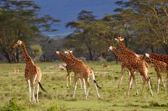 Giraffes. In Lake Nakuru National Park, Kenya Africa Stock Images