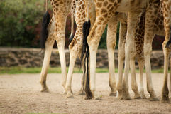 Giraffes legs. In Chester Zoo royalty free stock images