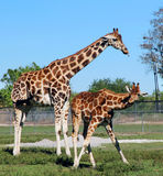 Giraffes. At the Lion Country Safari Park, located in Loxahatchee, in Palm Beach County, Florida Stock Photo