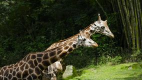 Giraffes with long neck at zoo. Video footage of two giraffes with long neck at the zoo. Giraffe is the tallest living animals in the world stock video footage