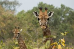 A pair of wild giraffes in Senegal, Africa. Giraffes look at the camera in Foundiougne, Senegal Royalty Free Stock Photography