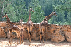 Giraffes. Looking over the fence Stock Photos